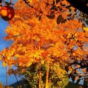 Baum mit Herbstlauf in Reit im Winkl - Neumaier Ferienwohnung Reit im Winkl