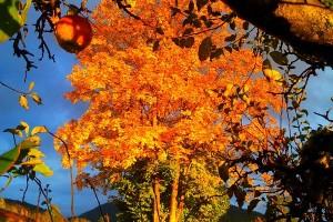 Baum im Herbst mit buntem Laub in Reit im Winkl - Neumaier Ferienwohnung Reit im Winkl